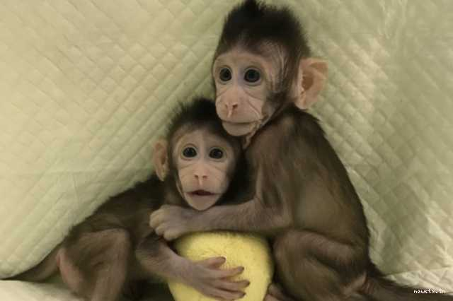 chinese-scientists-cloned-monkeys