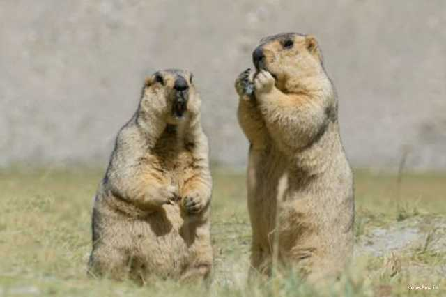 male-marmots-pick-up-street-fight