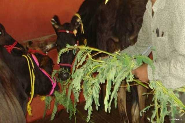 today-s-spiritual-message-tell-this-mantra-when-giving-the-agathi-keerai-to-the-cow