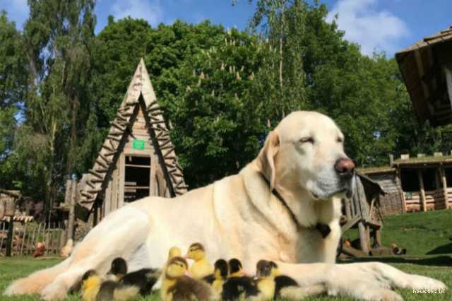 dog-adopts-nine-orphaned-ducklings