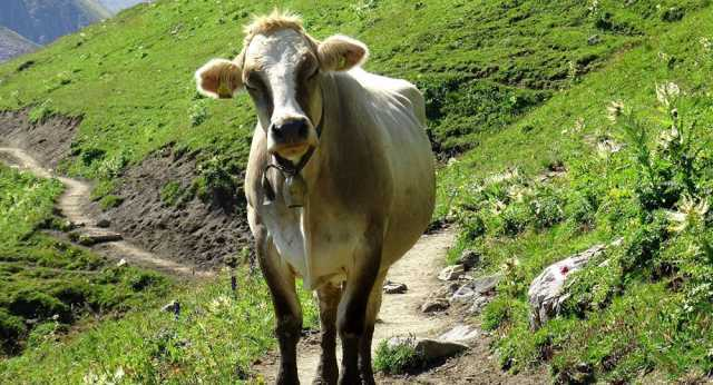 bulgarian-cow-saved-from-slaughter