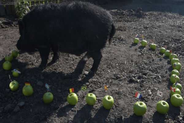 psychic-pig-mystic-marcus-sniffs-out-the-world-cup-winner