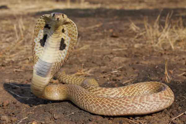 poisonous-snake-causes-panic-at-puducherry-airport-s-vip-lounge