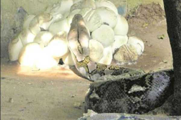 asian-python-laid-50-eggs-in-guindy-sanke-park
