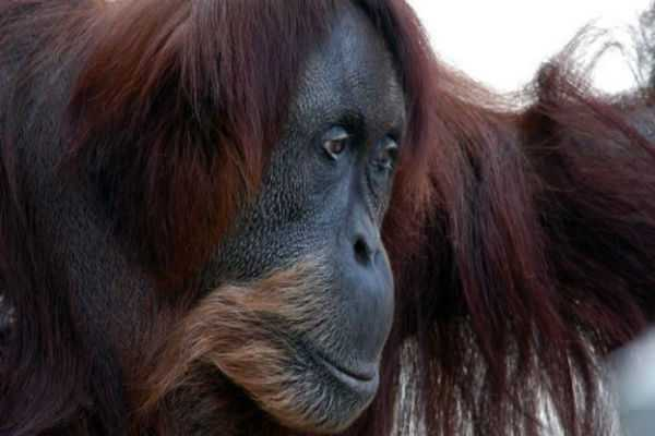 world-s-oldest-sumatran-orangutan-dies-aged-62