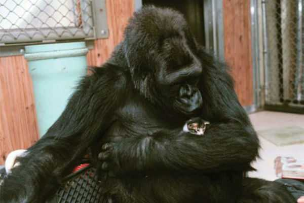 koko-gorilla-who-talked-with-sign-language-died