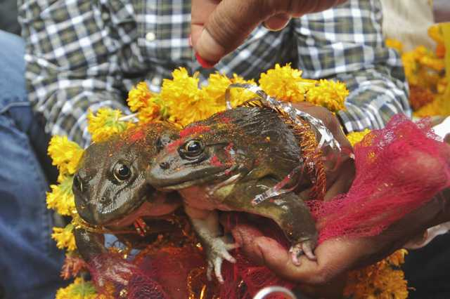bjp-minister-gets-2-frogs-married-to-make-it-rain