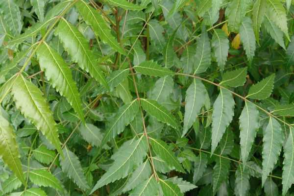 neem-compound-may-be-possible-breast-cancer-cure-say-scientists