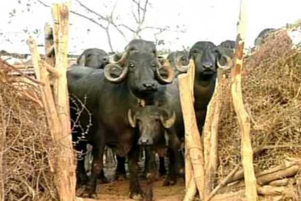 buffalo-atrocity-in-palani