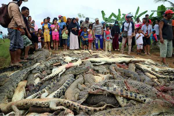 nearly-300-crocodiles-killed-in-indonesia-after-man-s-death