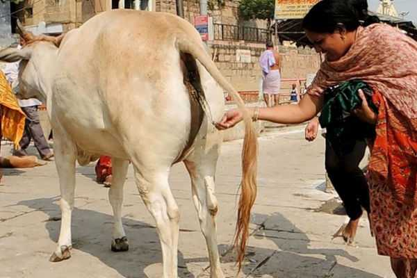 cow-urine-price-touches-milk-rate-in-rajasthan