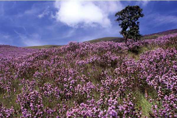 purple-blossoms-in-moonar
