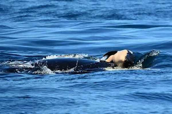 killer-whale-continues-carrying-dead-calf-for-unprecedented-length-of-mourning