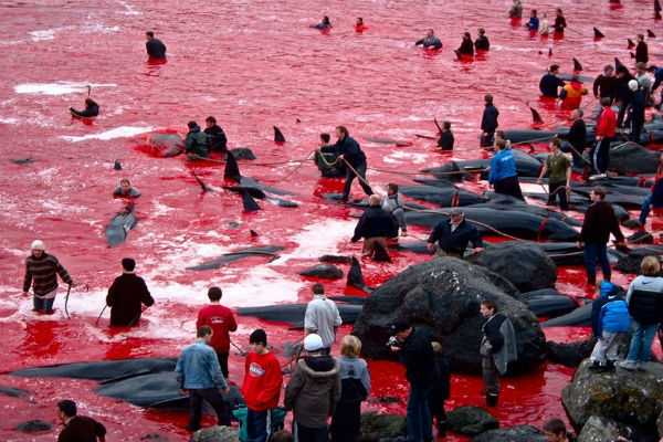 the-faroe-islands-ugly-pilot-whale-culling-tradition-draws-contempt