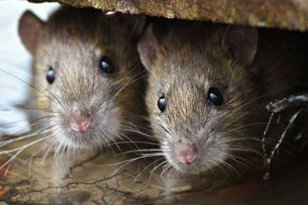 rat-fever-scare-in-kerala-toll-mounts-to-24