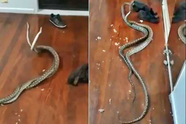 fighting-snakes-fall-into-bedroom-attack-captured-on-facebook-live