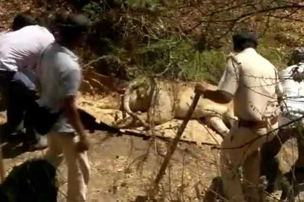 21-lions-dead-due-to-virus-attack-in-gir-forest