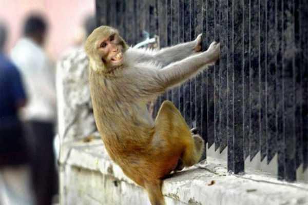 monkeys-stone-man-to-death-cops-in-fix-as-family-wants-fir
