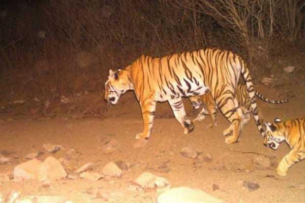 tigress-avni-shot-dead-in-maharashtra