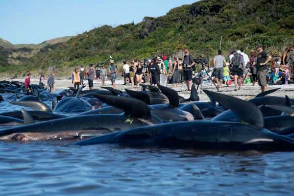 whale-stranding-in-new-zealand-leaves-145-dead