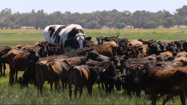 knickers-the-cow-why-australia-s-giant-steer-is-so-fascinating