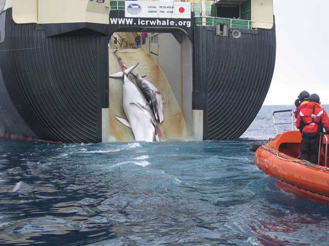 japan-quits-global-whaling-body-will-resume-commercial-hunt