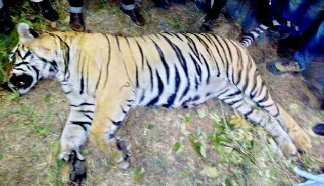 odhisha-75-tigers-have-died-in-the-last-10-years