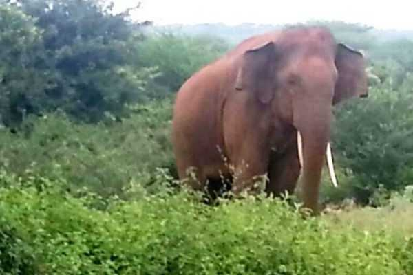 coimbatore-wild-elephant-attacking-woman-kills