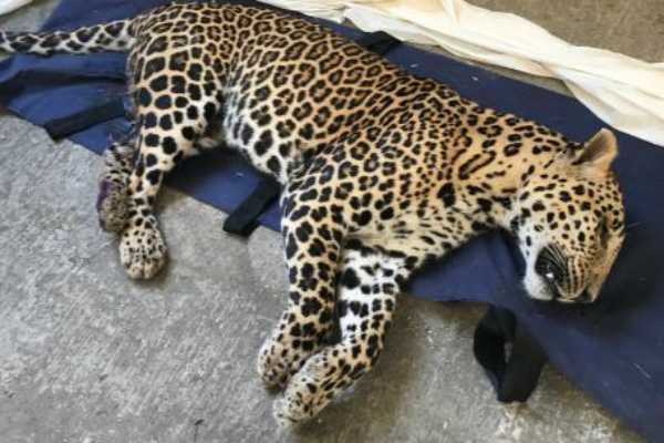 angry-cows-kill-leopard-in-maharashtra