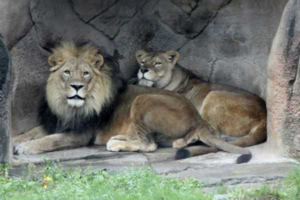 man-mauled-to-death-by-2-lions-in-punjab-zoo