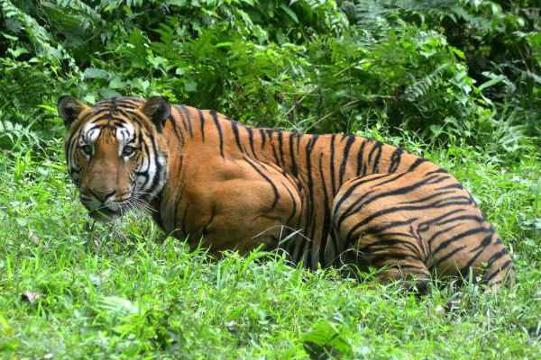 sathyamangalam-tiger-forest-special-story