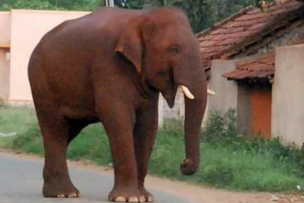 elephant-chinnathambi-again-left-out-from-forest