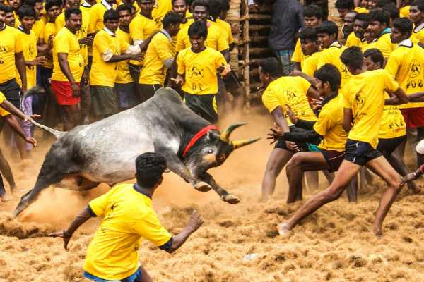 jallikattu-event-held-on-thiruppur