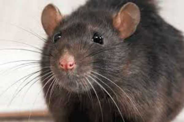 scientists-control-rats-using-a-human-brain