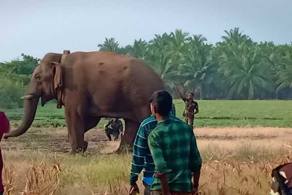 chinnathambi-elephant-forest-department-to-submit-report-to-madras-high-court