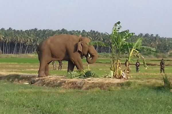 chinnathambi-elephant-caught-by-forest-dept