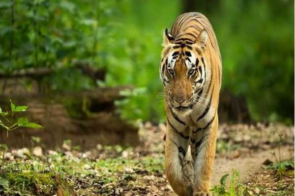 please-take-care-of-our-tiger-madhya-pradesh-to-gujarat