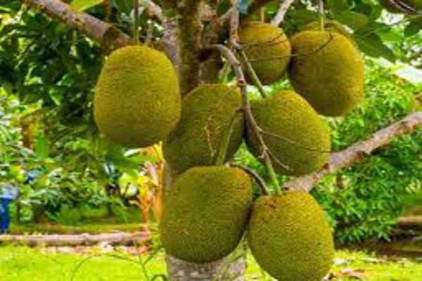 benefits-of-jack-fruits