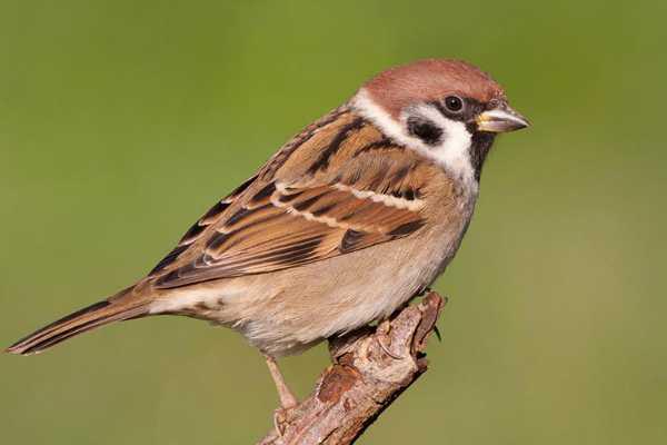 world-sparrow-day