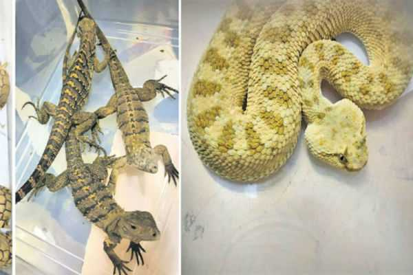 snake-seized-in-chennai-airport
