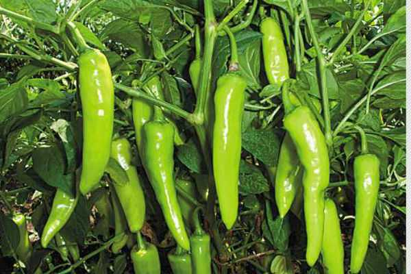 green-chilly-benefits