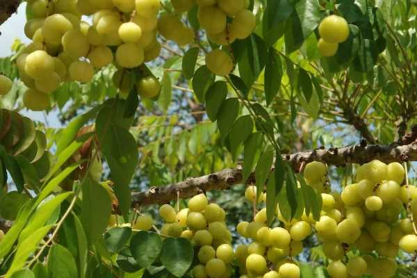 what-is-the-relationship-with-amla-tree