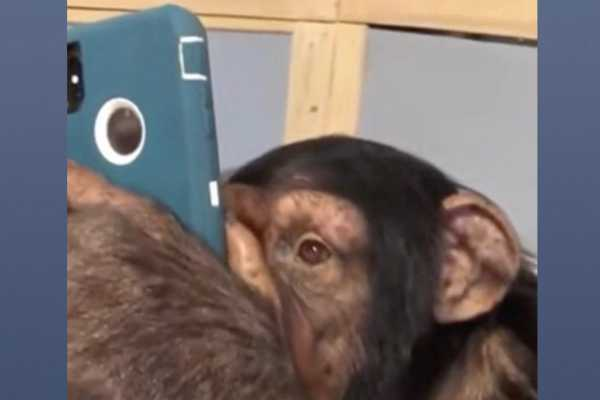 chimpanzee-goes-viral-for-using-instagram-like-a-pro-video-stuns-people