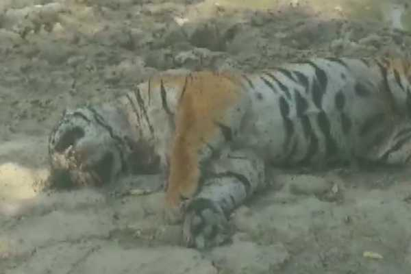 uttarakhand-carcass-of-a-tiger-found-in-jim-corbett-national-park-in-ramnagar