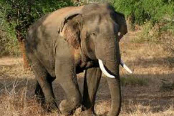 old-woman-death-on-elephant-attack