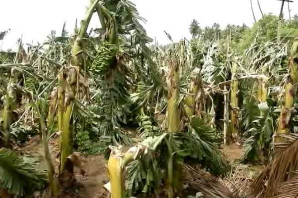 about-1-lakh-banana-trees-damaged-in-hurricane-wind