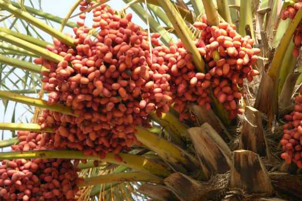 dates-benefits-and-evils