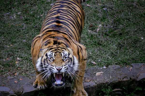tiger-attack-in-coimbatore