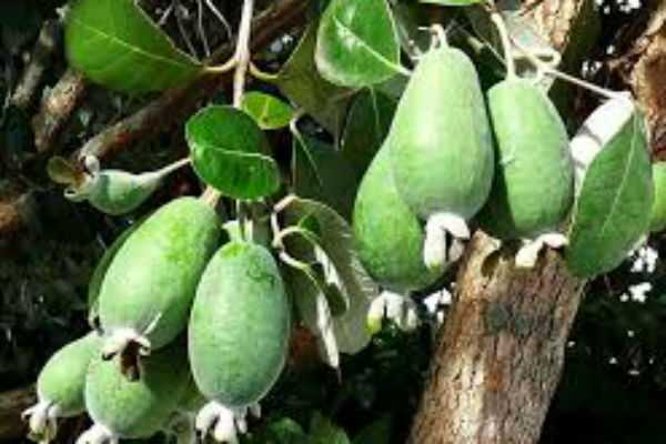 health-benefits-of-feijoa