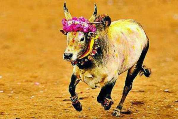 sivagangai-the-tragedy-of-a-bite-the-cow-in-the-manfredry